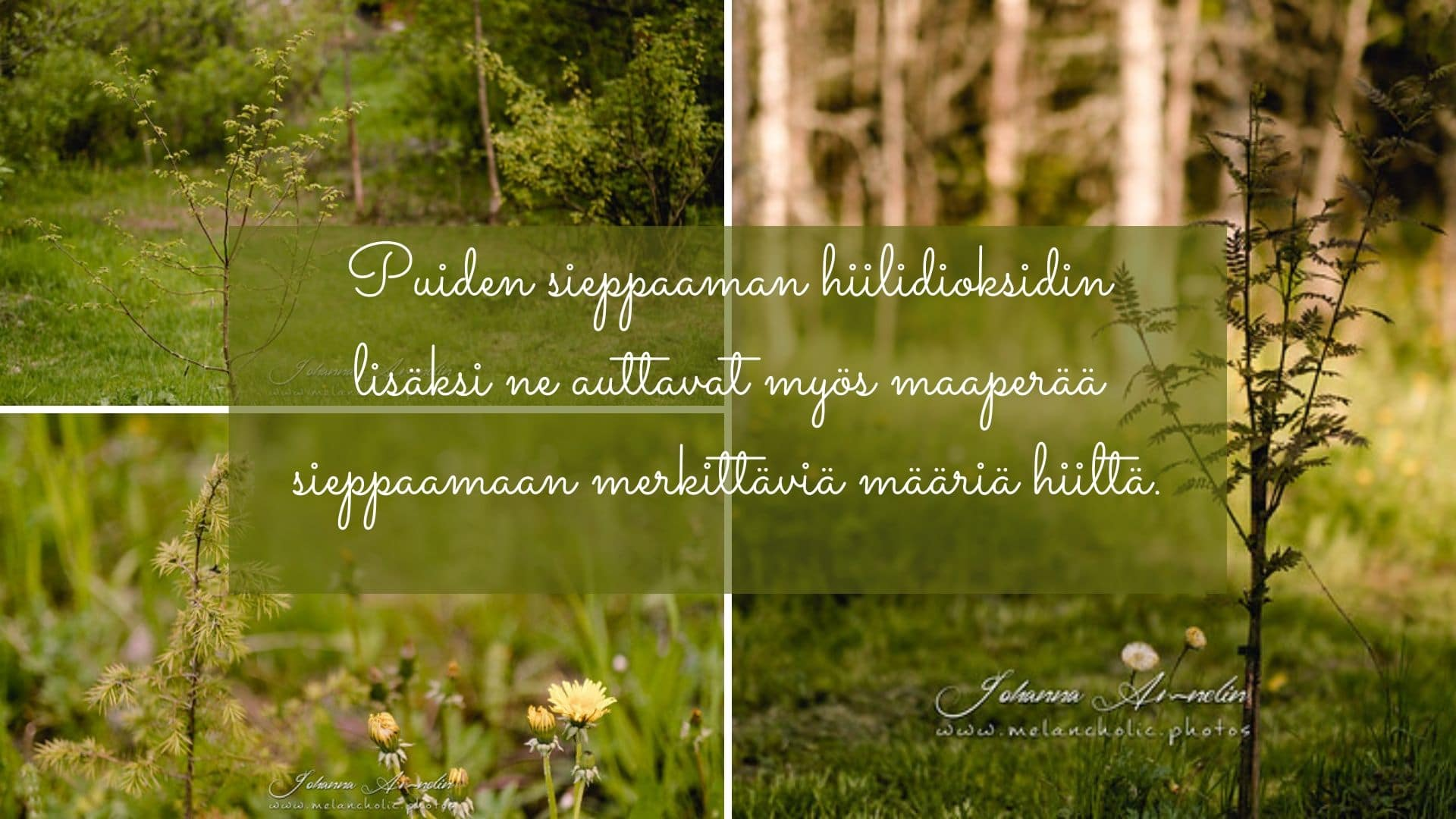 Puiden sieppaaman hiilidioksidin lisäksi ne auttavat myös maaperää sieppaamaan merkittäviä määriä hiiltä.