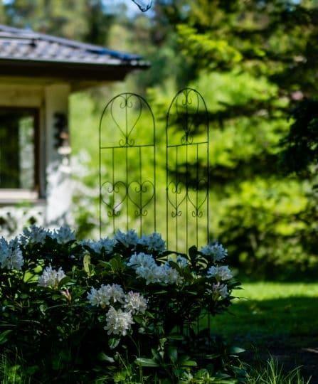 taikalaakson kukkiva vanha alppiruusu