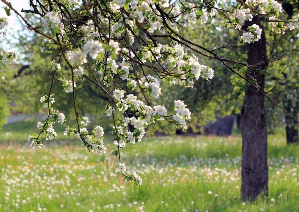 Taikalaakson omenapuu kukkii